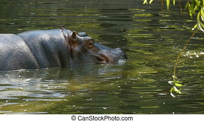 A hippo is shot in profile. He enjoys his life and lowers...