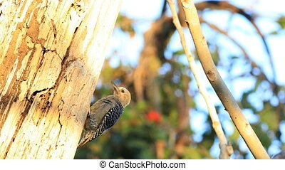 Hoffman's Woodpecker, Melanerpes hoffmannii, in Costa Rica -...
