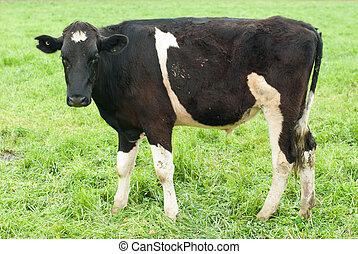A Holstein-Friesian Calf