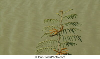 A closeup daylight shot of a honey locust tree with its branches, leaves, and brown seed pods swaying in the wind in a background of flowing muddy river water.