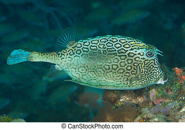 A Honeycomb Cowfish hovering over a coral reef.