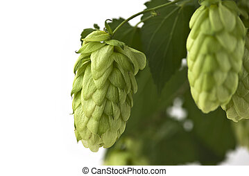 A Hop Cone on the White Background