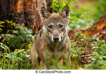 A horizontal portrait of gray wolf in his natural habitat in summertime