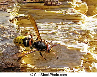 A hornet uses rotten wood for building of dwelling.