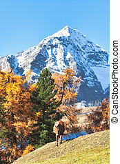 A horse in a high mountain autumn landscape on the Swiss Alps