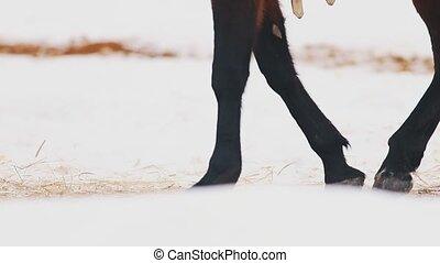 A horse walking on the snowy ground. Mid shot