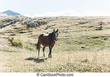 A horse walks across the field
