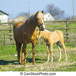 A horse with a foal. Animals horse with a foal. A pet mammal farm horse and foal