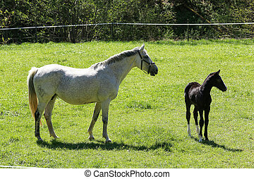 A horse with a foal grazes in the meadow