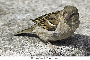 house sparrow - A house sparrow closeup