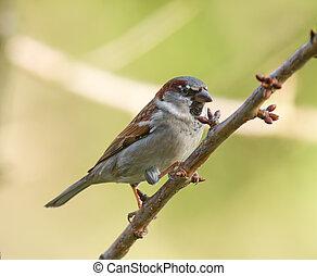 Sparrow - A House Sparrow on a tree branch.