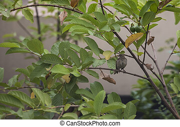 House sparrow - A House sparrow sit on a branch of a guava ...