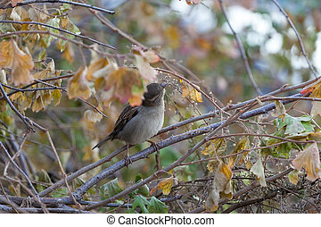 A house sparrow sitting on a branch