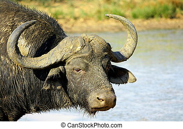 A huge Cape Buffalo bull and baby