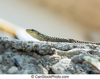 A huge european green lizard (Lacerta viridis) Croatia