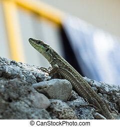 A huge european green lizard