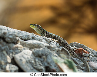 A huge european green lizard