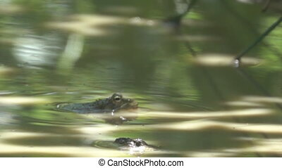 A huge Lake frog (Rana ridibunda) lies on the surface of the water like a hippopotamus. Caucasus