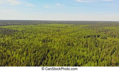 A huge thicket of coniferous forest. Aerial shot