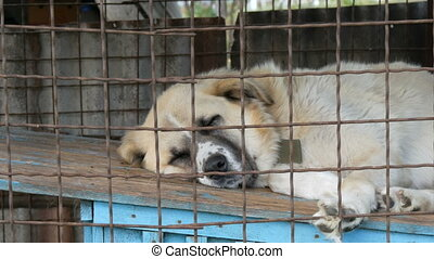 A huge white dog on a chain in an aviary is lying on its booth. Dog on a leash sleeps behind bars.