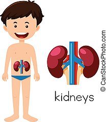 A Human Anatomy of Kidneys
