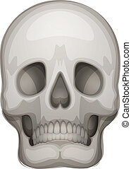 A human skull - Illustration of a human skull on a white...