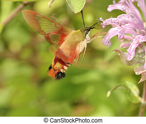 Hummingbird Moth - A Hummingbird Moth collecting pollen from...