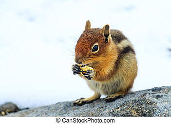 Hungry Chipmunk - A Hungry Chipmunk at Mt. Rainier National...