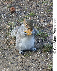 A hungry squirrel eating a piece of salty cracker
