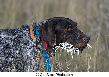 A hunting dog with a mouthful of Porcupine Quills