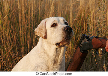 A hunting yellow labrador and a gun