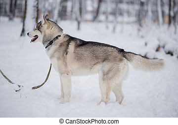 husky dog in the winter forest