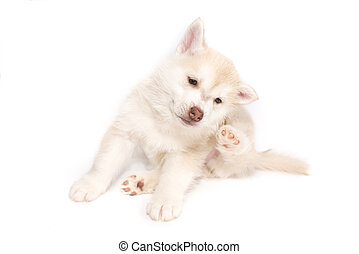 A husky puppy scratched behind the ear, isolated on white background