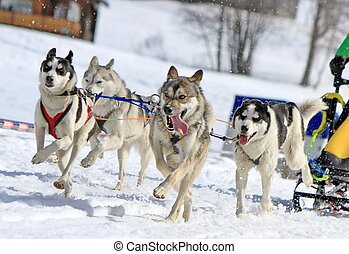 A husky sled dog team running fast with tongue outside by winter day