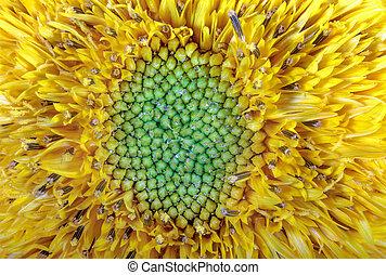 image flower garden ornamental sunflower yellow