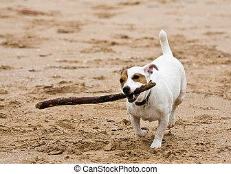 Jack Russell - A Jack Russell running on the beach