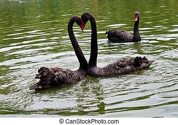 a, jaleous, svan, tittande vid, annat, swans