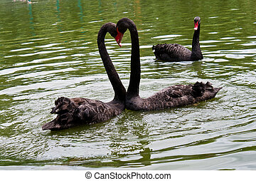 A jaleous swan looking at other swans - Two black swans...