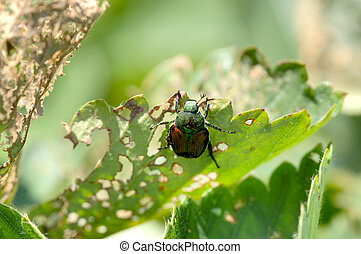 A Japanese Beetle, Popillia japonica, works on skeletonizing (eating) a strawberry plant. 12MP camera. Focus = the beetle.