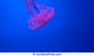 A Jellyfish in the aquarium - red Jellyfish in the aquarium