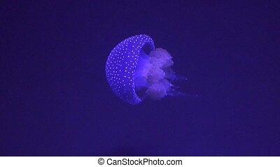 A Jellyfish Marine Animals