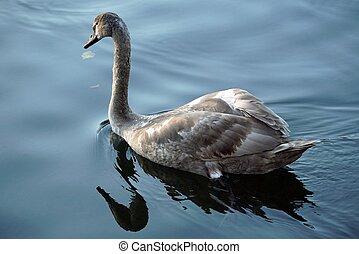 a, jeune, cygne, nage, long, les, river., reflet, de, a, oiseau, dans, les, water.