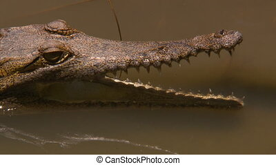 Close up of a Johnston's crocodile partially submerged in the water with an open mouth