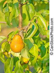 A juicy ripe golden pear
