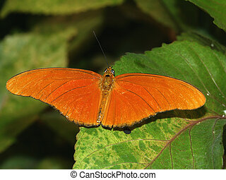 Julia Heliconian Butterfly - A Julia Heliconian Butterfly (...