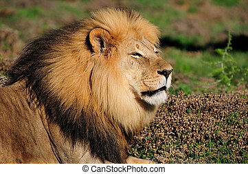 A Kalahari lion, Panthera leo, Addo Elephant National Par