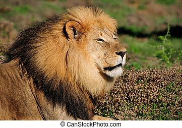 A Kalahari lion, Panthera leo, Addo Elephant National Par