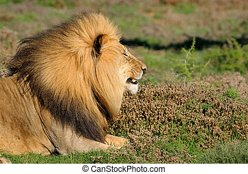 A Kalahari lion, panthera leo, in the Kuzuko contractual area of the Addo Elephant National Park in South Africa