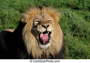 A Kalahari lion, panthera leo, in the Kuzuko contractual...