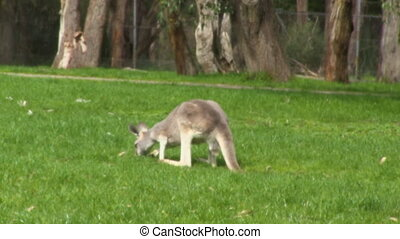 A kangaroo and a grassy field